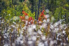 Autumn scene at Mer Bleu Conservation Area (runningman1958) Tags: autumn trees fall nature nikon colours bokeh autumncolours 365 fallcolours merbleu 365dayproject d3100 nikond3100 merbleuconservatoryarea d3100nikon
