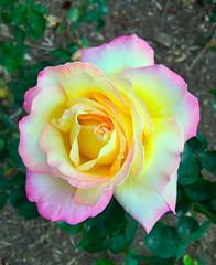 Rosa sp. en parque García Lorca, Granada. (eustoquio.molina) Tags: parque flower rosa granada lorca garcía