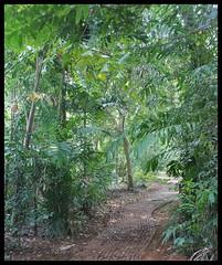 Path through palm forest @ Maharashtra Nature Park (Indianature14) Tags: india nature forest october bombay maharashtra mumbai 2015 cityforest mmrda indianature mahimnaturepark maharashtranaturepark mumbaiforest