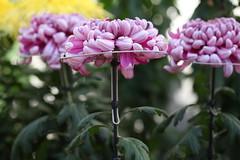 (eyawlk60) Tags: flowers autumn beautiful japan canon eos 5d  chrysanthemum