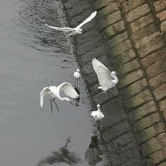 DSC03118_cr (rickytanghkg) Tags: bird hongkong sony aves 70300mm taipo 70300g a550 agrets