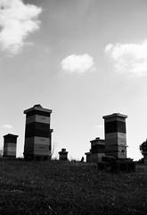Behives in Central Kentucky (John's Vintage Cameras) Tags: 120 film monochrome analog vintage blackwhite kentucky agfa beehive boxcamera apiary madeingermany synchrobox blackwhitephotos