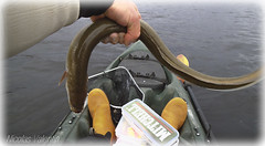Slippery eel (Nicolas Valentin) Tags: fish scotland fishing eel lomond slippery lochlomond ecosse balmaha kayakfishing nicolasvalentin pecheenkayak