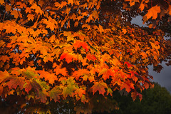 New jersey Sugar Maple in Autumn Splendor (Dazed&Konfuzed) Tags: newjersey maple autumncolors acer sugarmaple newjerseyautumn