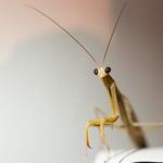 The cutest mantis thumbnail