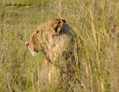 """JHG_7132-b Lioness that reminds me of the movie """"Ghost & the Darkness"""" as she hides in the deep Elephant grass. Amboseli, Kenya. (GavinKenya) Tags: africa wild nature animal june john mammal photography gavin photographer kenya african wildlife july grand safari dk naturephotography kenyasafari africansafari 2015 safaris africanwildlife africasafari johngavin wildlifephotography kenyaafrica kenyawildlife dkgrandsafaris africa2015 safari2015 johnhgavin"""