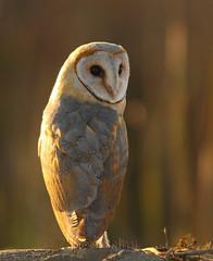 Barn owl (Zahoor-Salmi) Tags: camera pakistan macro nature birds animals canon lens photo tv google flickr natural action wildlife watch bbc punjab wwf salmi walpapers chanals discovry beutty bhalwal zahoorsalmi