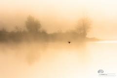 A tire d'aile (photosenvrac) Tags: lumiere paysage loire brume oiseaux leverdesoleil thierryduchamp
