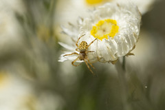 little spider on a paper daisy (louisa_catlover) Tags: summer brown white plant flower macro art nature floral closeup canon garden botanical eos spider flora december dof artistic native bokeh outdoor australia melbourne victoria depthoffield tiny daisy botanicgarden dandenongs dandenongranges macrolens everlasting kalorama australiannativeplant 2015 paperdaisy 60d 100mn karwarra karwarraaustralianplantgarden karwarrabotanicgarden