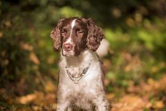 Basil autumn colours (halfpennysanchez) Tags: autumn pets dogs leaves animals colours