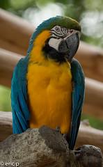 Blauw Gele Ara BirdPark Singapore (amsterdameric) Tags: birds singapore asia vogels singaporezoo travelasia singaporedierentuin