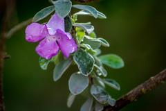 Flor em Macro (soares.rodrigo@ymail.com) Tags: flores rio chuva pssaro preto domingo finaldesemana recanto soares