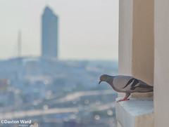 a lot to think about (Dax Ward Photography) Tags: city bird nature asian thailand asia bangkok pigeon balcony wildlife streetphotography thai siam windowsill southeastbangkokbirdbirdspigeonsiamstreetphotographythaithailand