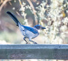 Spring Loaded. (Omygodtom) Tags: abstract animal animalplanet scrubjay bird outdoors nikkor park blue nature natural nikon d7100 nikon70300mmvrlens oaksbottom fence