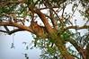 African leopard (Ersin Demir) Tags: leopard pantherapardus cat bigcat mammal predator safari africa tanzania mikumi mikuminationalpark wildlife nature outdoor nikond5100 nikon70300mm