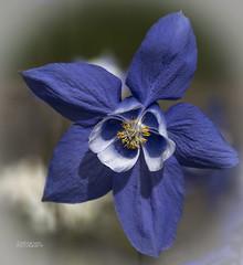 Glorious Blue Columbine (ChrisKirbyCapturePhotography) Tags: columbine blue blueflower tromso norway arcticbotanicgarden flower