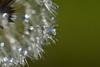 DSC_1319 (Hachimaki123) Tags: plant planta dientedeleón dientedeleon taraxacumofficinale gotas agua water drop gota