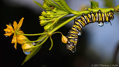 After The Rain (Tom's Macro and Nature Photographs) Tags: macrophotography insects california caterpillar monarch monarchbutterfly danausplexippus milkweed asclepias raindrops rain flowers