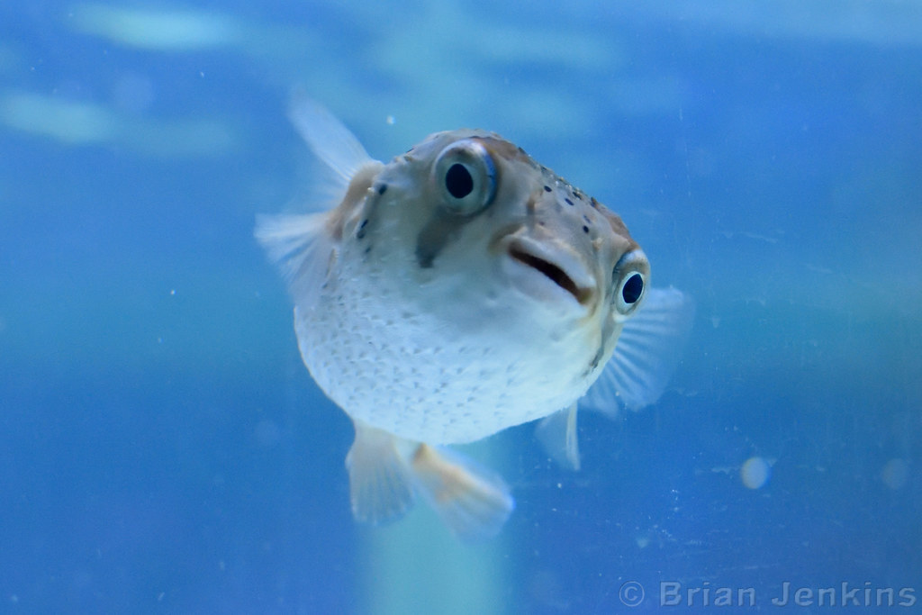 The world 39 s best photos of aquarium and pufferfish for Puffer fish aquarium