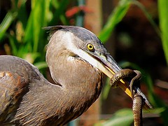 Who's winning? (Hayseed52) Tags: blueheron heron bird snake summer fight struggle intense