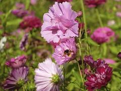 Freitagsblümchen auf der Sommerwiese (sabine1955) Tags: blumen flower malve sommer natur wiese pink lila