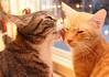Miisa & Salvia (andymiccone) Tags: cat katze katt kissa feline tabby chat gato red orange animal beautiful cute pet domestic salvia kitten