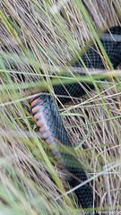 SLN_4298 (sonja.newcombe) Tags: snake redbelliedblacksnake australia wildlife snek