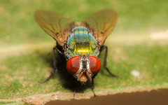 Green Bottle Fly (Arvind_S) Tags: fly bottlefly colors nature wild bug insects macro raynox250 ngc eyes red wings chennai leaf