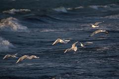 Struggling against the wind (Infomastern) Tags: gislövshamn bird blåsigt fågel gull hav mås sea vatten water windy östersjön
