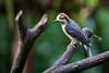 Red-crowned Woodpecker Coming Out After the Rain (jeff_a_goldberg) Tags: laquintadesarapiqui sarapiqui winter costarica woodpecker nathab naturalhabitatadventures hotellaquintadesarapiqui redcrownedwoodpecker melanerpesrubricapillus heredia cr