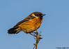 just hanging on (blackfox wildlife and nature imaging) Tags: canon 80d sigma150600mmossport stonechat deeestuary wirral
