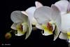 Orchid (Phalaenopsis) (Greet N.) Tags: phalaenopsis orchid plant flower whitte macro
