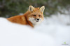Renard roux - Red fox - Vulpes vulpes (Maxime Legare-Vezina) Tags: mammals mammifere animal nature wild wildlife fauna biodiversity winter hiver neige snow canon quebec canada