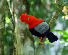 Peru: Andean Cock-of-the-Rock (spiderhunters) Tags: andeancockoftherock rupicolaperuvianus bird neotropics cloudforest andes peru cotinga aguascalientes mac