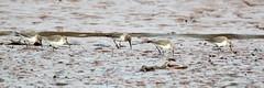 Dunlin ,Calidris alpina (2) (Geckoo76) Tags: dunlin calidrisalpina