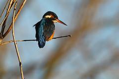 IJsvogel - Alcedo atthis - Common Kingfisher (merijnloeve) Tags: ijsvogel alcedo atthis common kingfisher de lier kraaiennest vogel winter natuur bird vogels kijken birdwatching birding vogelen midden delfland schipluiden delft zuidholland ngc
