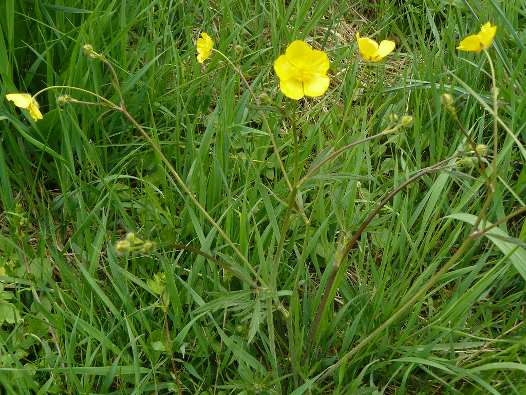 Ranunculus auricomus-3
