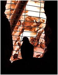Tweet, tweet... (Mike Goldberg) Tags: bird domestic dove symbolic nitza mike goldberg panasonictz4 telsheva