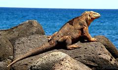 Galapagos Land Iguana (Mahmoud R Maheri) Tags: galapapos iguana landiguana ocean shore wildlife pacificocean ecuador sky bluesky