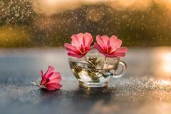 10/52 Backlight rain (Nathalie Le Bris) Tags: backlight blur bokeh contraluz contrejour fleur flor flower goutte throughherlens 7dwf