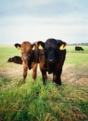 * (doistrakh) Tags: calves 120 645 fujifilm ga645zi mediumformat travel europe ireland countyclare doolin animal