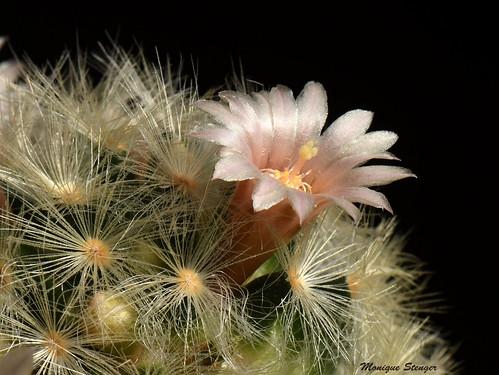 Cactus qui ne pique pas