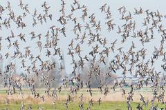 black-tailed godwits (a3aanw) Tags: zaanseschans grutto blacktailedgodwit nikon afsnikkor200500mmf56eedvr bird vogel