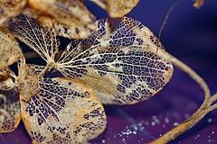 Skeletal Petal (lovebutterflies1) Tags: shootaboot winner