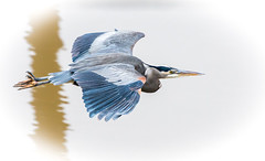 Sharp Eyed. (Omygodtom) Tags: outdoors lens macromonday blueheron bird nikkor nikon70300mmvrlens flickr flying nature nikon d7100 blue eye wild wildlife abstract art animal animalplanet