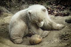 Eisbären - Nachwuchs in Hellabrunn (Roman Achrainer) Tags: giovanna eisbär hellabrunn tierpark zoo münchen nachwuchs achrainer