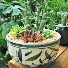 สวนชาม ใบแรกที่จัด #cactus #succulent