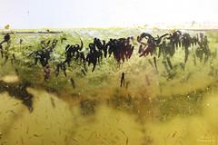 Têtards (Mariie76) Tags: animaux amphibiens grenouilles rousses jeunes petits marrons têtards aquarium eau algues vertes nature macro macrophotographie