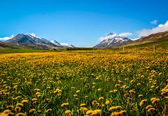 Guess the flower (PMTN) Tags: travel blue sky mountains green nature yellow clouds canon iceland natureza cu nuvens viagens montanhas islndia pedronascimento