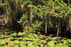 View Of Big Cypress (ACEZandEIGHTZ) Tags: trees plants water view swamp bigcypress airplants tillandsias
